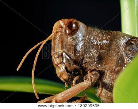 Portrait of a locust. The muzzle is the locusts macro
