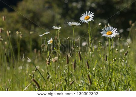 close up of daisies growing on meadow