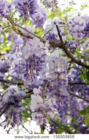 Hanging wisteria blossoms, painted in a light violet color