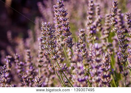 Sunset Over Violet Lavender Field In Turkey