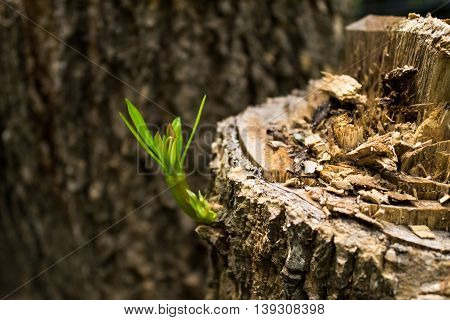 The tree stump reborn after deforestation in selective focus.