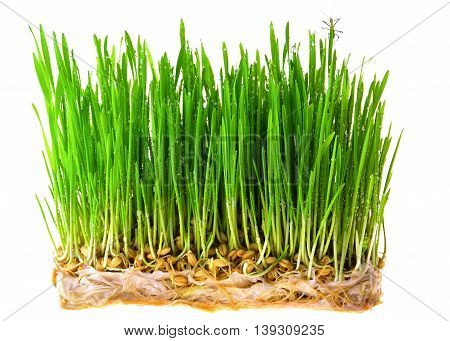 fresh green wheat seedlings on white background