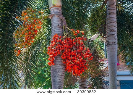 Unusual red I years on the tree. Krabi Thailand. Peninsula of Railay.