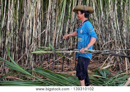Asian Farmer Harvesting Sugarcane