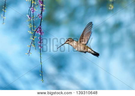 Tiny hummingbird over blurred spring or summer background