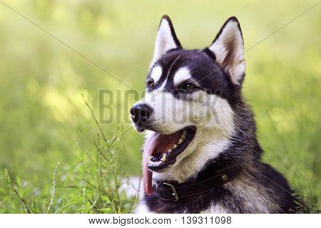 the dog breed Siberian Husky is lying on green grass