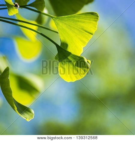 Ginkgo green leaves on a tree. Spring 2016 in Hungary