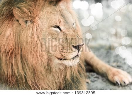 portrait the animal African lione lying close-up