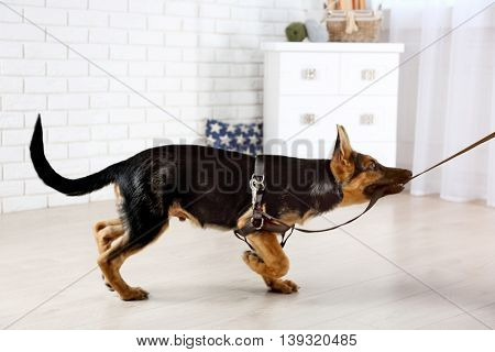 Cute dog shepherd playing with collar