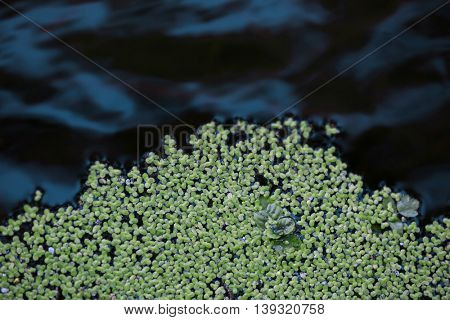 Green duckweed in a river
