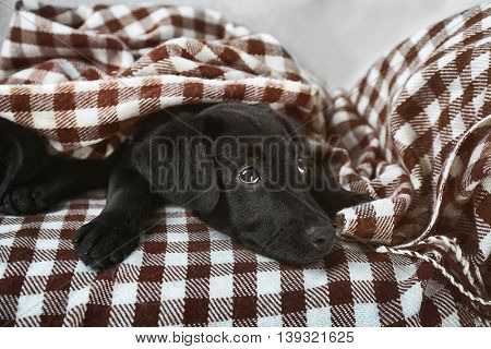 Cute Labrador puppy in plaid on couch