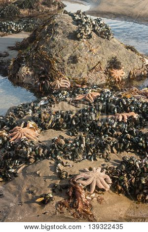 rockpool with orange starfish and mussels at low tide