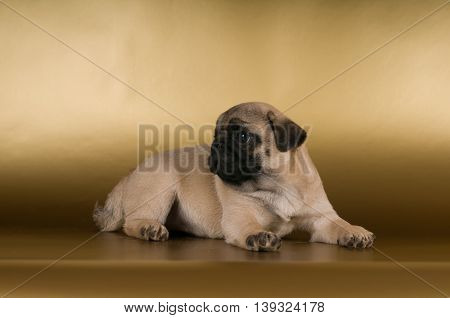 Pug lying on golden background at studio