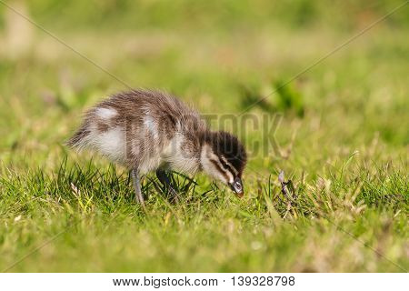 close up of duckling searching for food