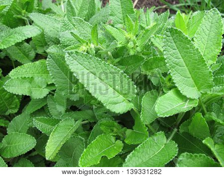 Knotroot with green leaven, Stachys affinis, in garden