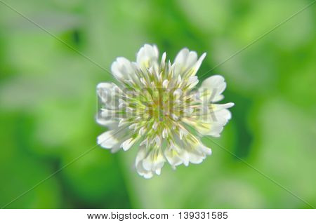 White Dutch Clover Trifolium Repens. Flower Of The .   L.