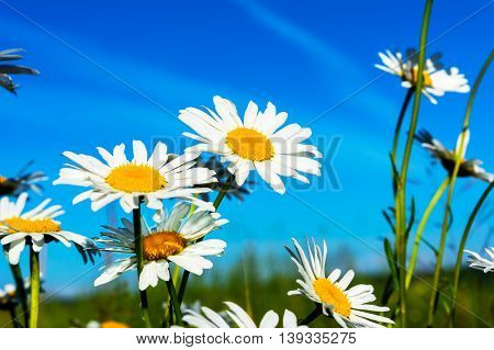 White daisies on blue sky background. Beautiful landscape with daisies in the sunlight. Summer field of white flowers.