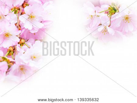 holiday background, pink cherry flower blossom, sakura flower on white with copyspace