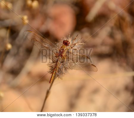 A Small Scarlet Dragonfly resting on a plant in Southern Africa
