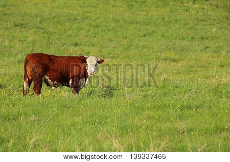 Fleckvieh Bull Standing On A Meadow And Watching
