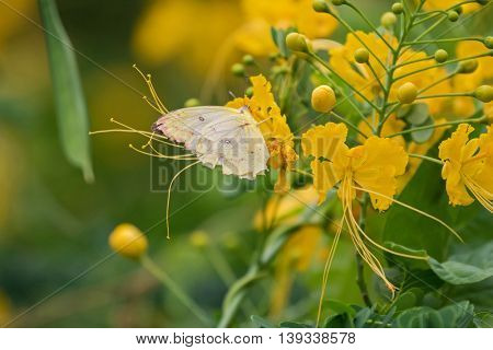 Soft focus of the Common Tailed Sulphur in pale yellow feeding on yellow flowers of Caesalpina in Thailand, Asia