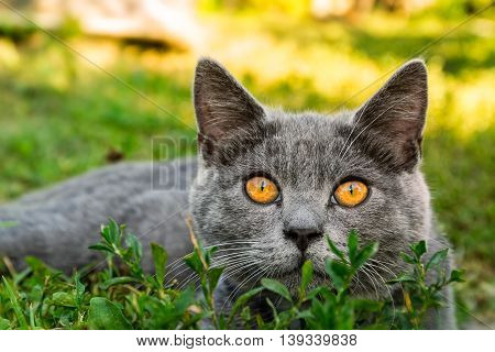 British short-hair cat with orange eyes on a green grass