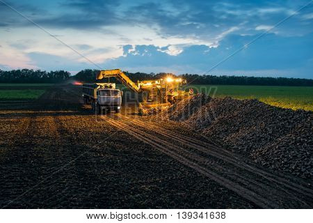 Machine loads of sugar beet into trucks collected from fields at evening