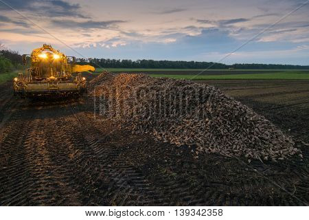 Machine with illumination for loading are on field near pile of sugar beet in summer evening