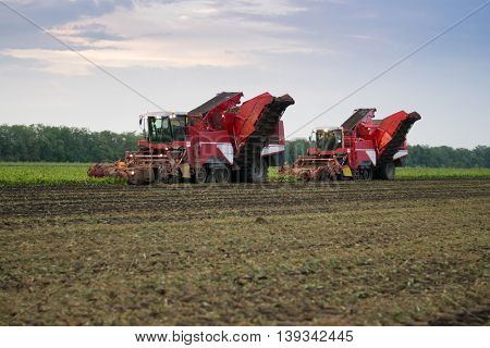 Two combine harvesters harvest of ripe sugar beet at summer evening