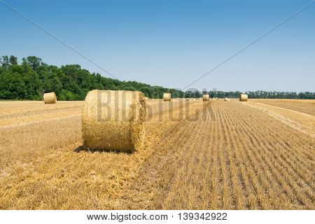 Bright field after harvesting with stacks of collected wheat and blue sky