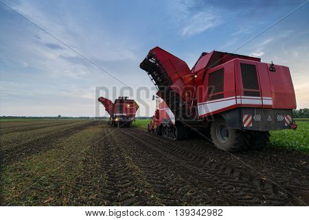 Two modern red combine harvesters harvest of sugar beet at summer evening, back view