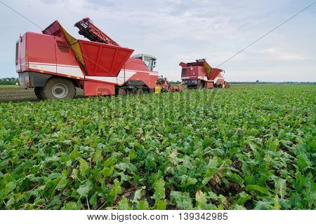 Two big red combine harvesters harvest of sugar beet at summer evening