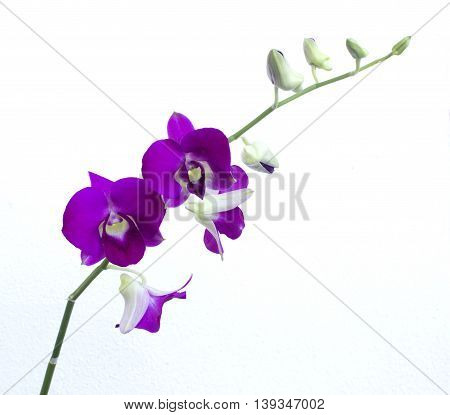 deep purple orchid isolated on a white