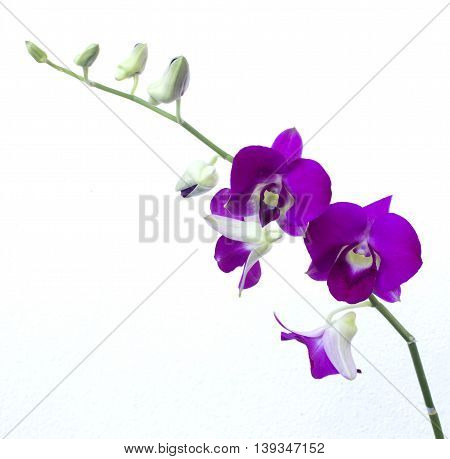 deep purple orchid isolated on a white background