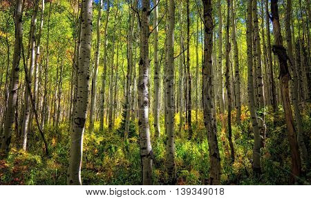 Birch grove. Young birches grow in the meadow.
