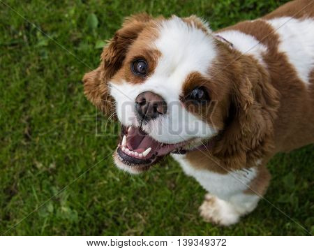 Female Blenheim Cavalier King Charles Spaniel in a local park, Liverpool, England