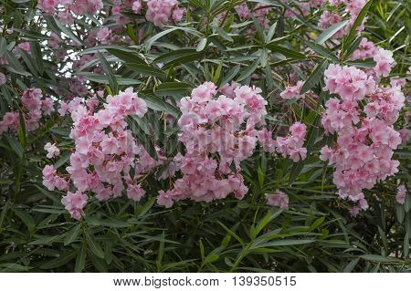 Oleander In The Garden