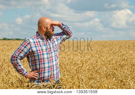 hairless farmer with beard standing and look around in the wheat field. Farmer or agronomist inspect quality of wheat harvest time