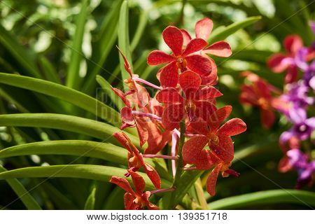 Red orchid. Orchid is queen of flowers. Orchid in tropical garden.