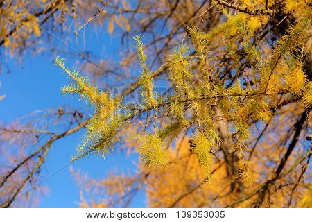 larch branches on a sunny autumn day