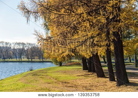 landscape in the autumn park with larches