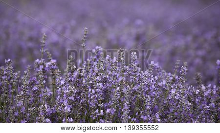Agricultural field with ripe violet lavender crops before harvesting close up.