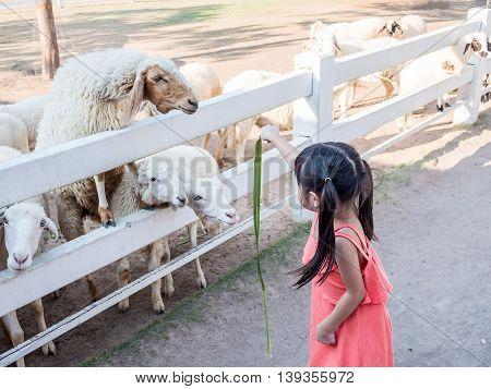Little Asian cute girl Feeding a Sheep