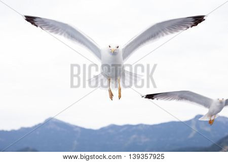 Seagulls flying above the sea, close up