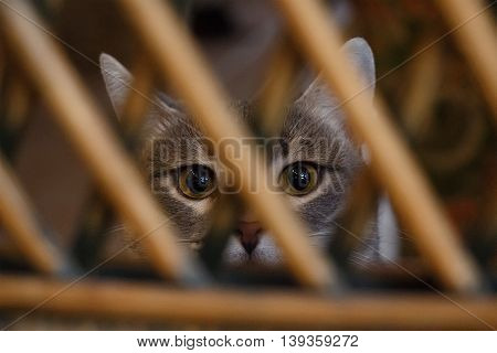 Gray cat yellow eyes looking at camera behind the wooden latice