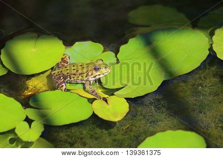 Edible Frog (pelophylax Esculentus) Sitting On Water Lily