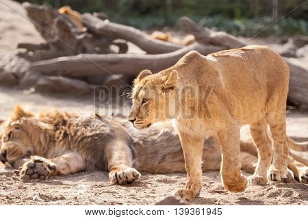 Female Lion Walking Around And Defend Herd