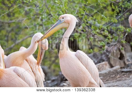 Adorable pink pelican on land close up