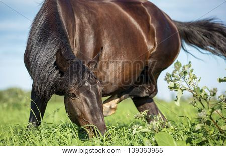 Horse scratches its ear and eats grass