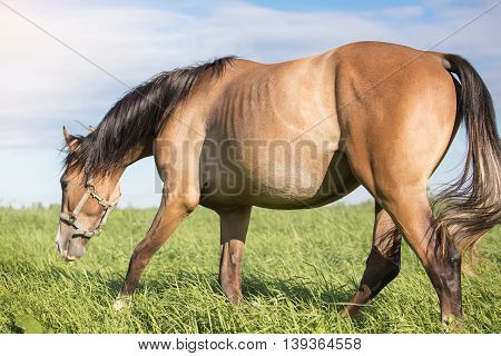 Horse eating grass in the summer pasture